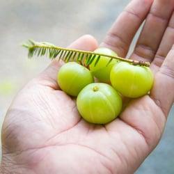 Organic, Plant-Based Formula – Organic, amla fruit in hand